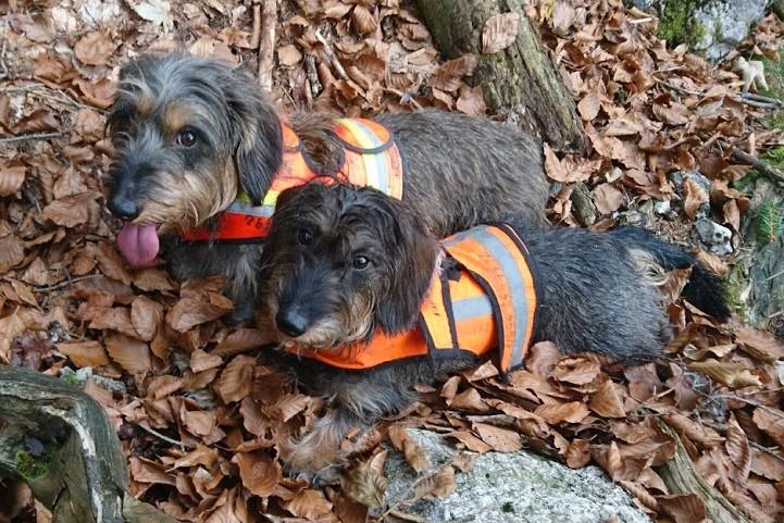 Heidi und Lili mit Warnwesten bekleidet bei der Treibjagd
